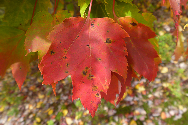 Three Tricky Maples Red Norway Sugar