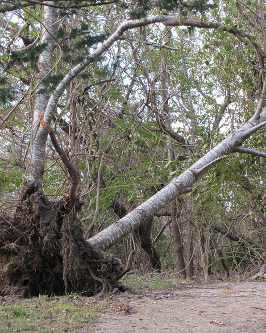 understand the hazards of up rooted trees