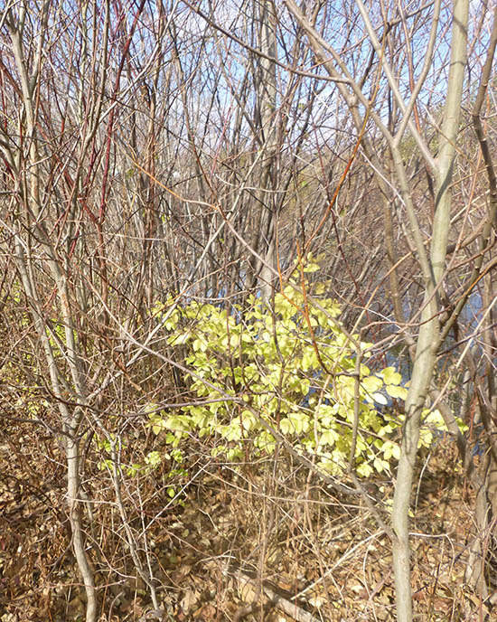 locate invasive plants